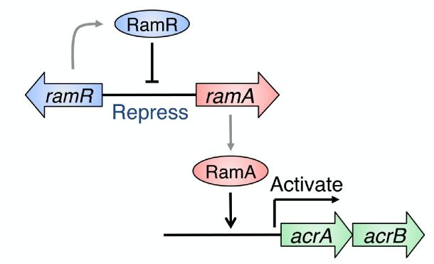 Gut Instinct: Bile Acid-Triggered Bacterial Adaptation Characterized