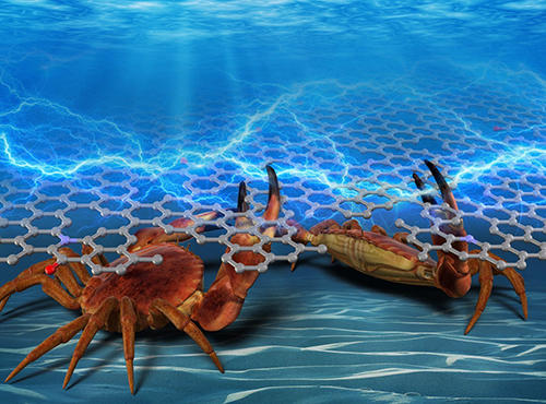 From dinner to sustainable electronics, the surprising versatility of crabs