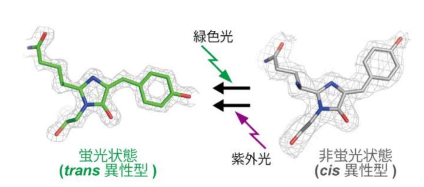 酸性でも光刺激で on・off できる緑色蛍光タンパク質 rsGamillus