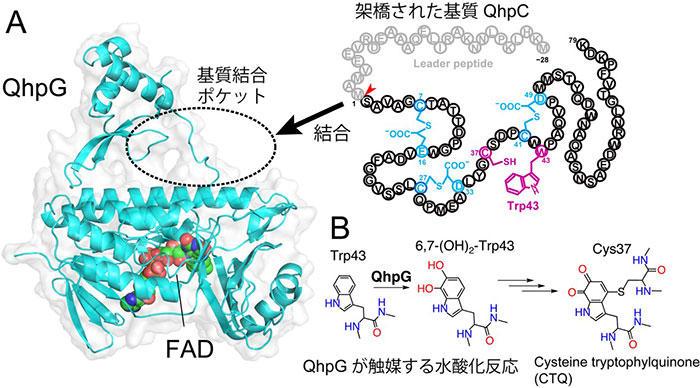 タンパク質中のトリプトファン残基を特異的に水酸化する 新しいフラビン酵素の構造と機能を解明  ― 新規機能性ペプチドの酵素的合成法の開発につながる成果 ―