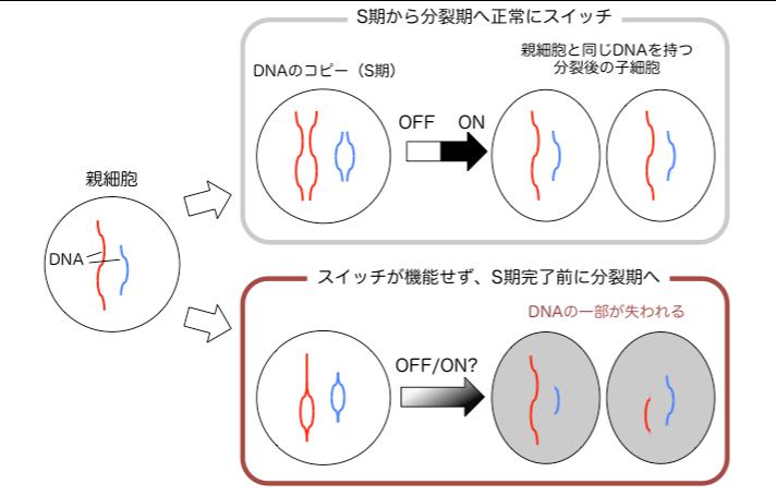 細胞分裂のスイッチを人工的に作り出すことに成功