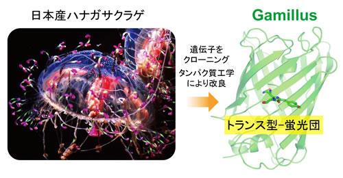 日本産ハナガサクラゲより開発!耐酸性緑色蛍光タンパク質Gamillus ~生体内の酸性環境を調査する新技術~