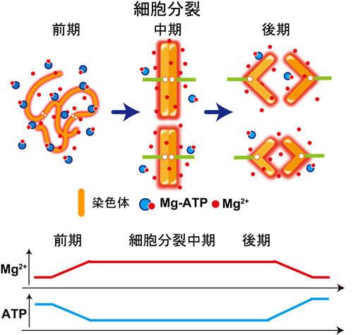 細胞分裂期の染色体凝縮はマグネシウムイオンの増加によって起こる ~生細胞イメージングにより新たなメカニズムを検証~