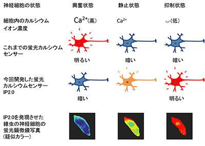 神経活動の抑制を鋭敏に捉える新規カルシウムセンサーの開発 ~細胞の機能解析への応用も可能~