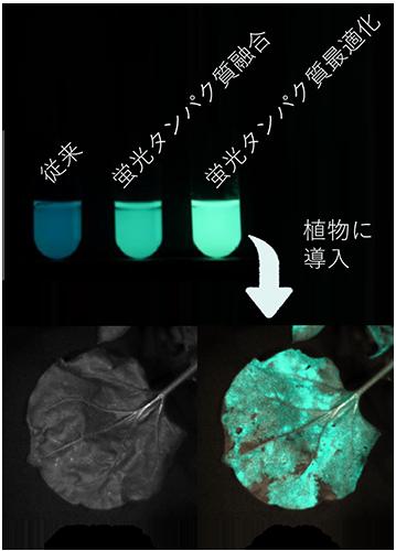 明るさ10倍!バクテリア由来の発光タンパク質を高光度化―分間隔以下で露光できる明るい発光タンパク質で生体機能解明へ―