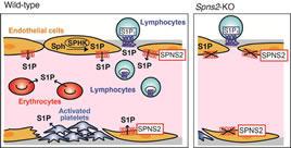 図2.マウスSPNS2は血管内皮細胞に発現してリンパ球の血中移行を制御する