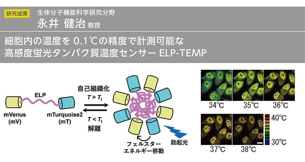 細胞内の温度を0.1℃の精度で計測可能な高感度蛍光タンパク質温度センサーELP-TEMP